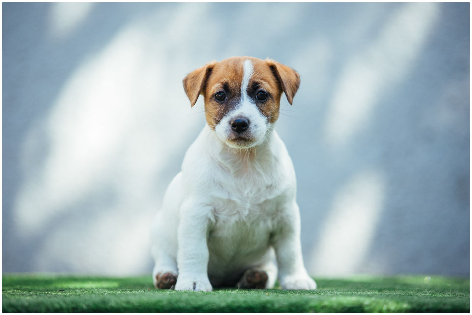 Miot H hodowla z Todrykowa Jack Russell Terrier